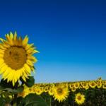 Sunflowers for Graymatterhost.com